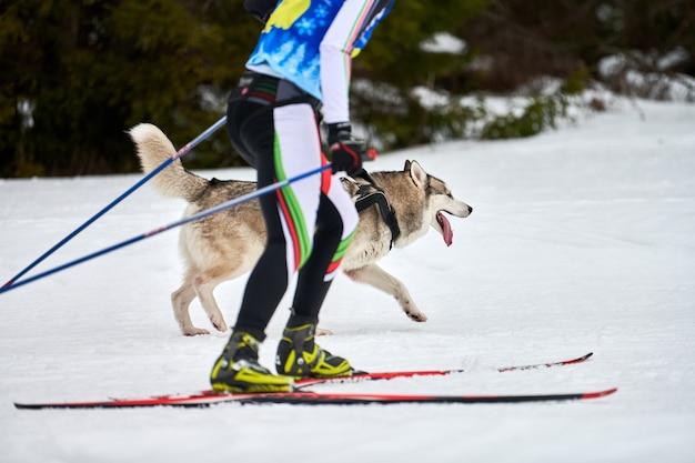 Skijoring cane da corsa con persona