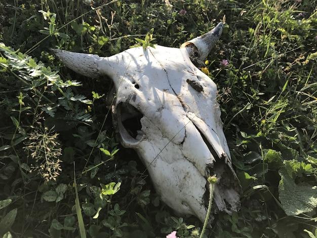 Cranio di una mucca con le corna sull'erba