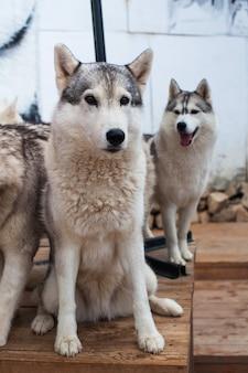 Il husky del cane da slitta si siede circondato da altri cani