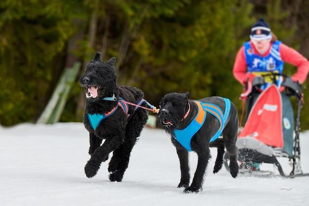 Sled dog mushing in inverno