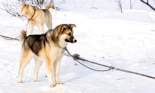 Cucciolo di cane da slitta siberian husky in kamchatka