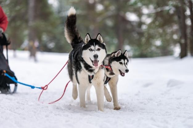 Corse di cani da slitta. squadra di cani da slitta husky in corsa imbracatura e tiratore di cani. campionato di sport invernali.
