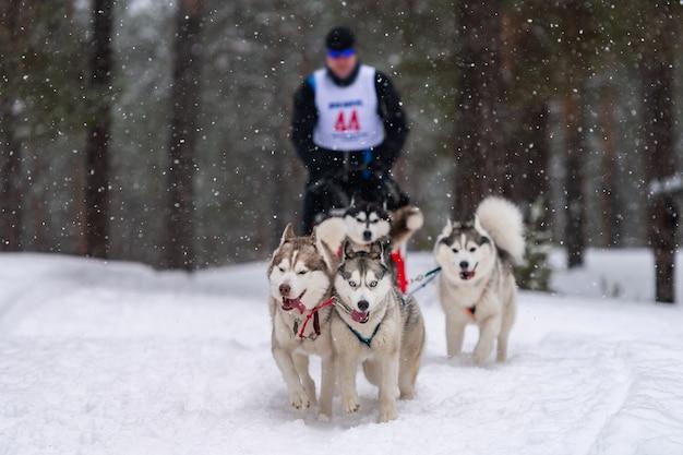 Corse di cani da slitta. la squadra di cani da slitta husky tira una slitta con conducente di cani. concorso invernale.