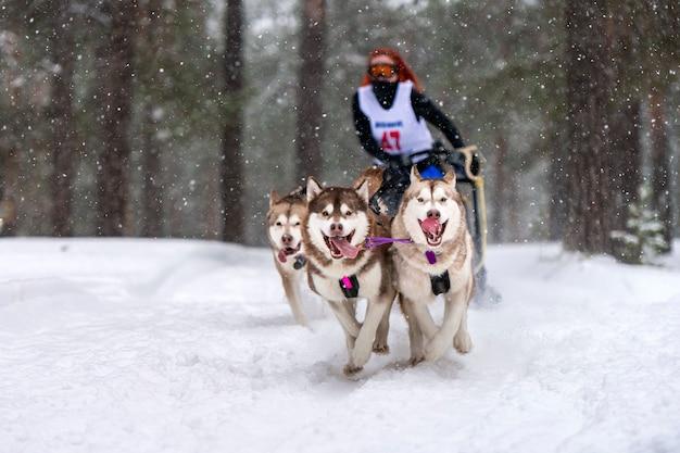 Corse di cani da slitta. la squadra di cani da slitta husky tira una slitta con musher di cani. concorso invernale.