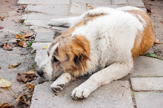 Cane che dorme appoggiato la testa sulle zampe. pastore dell'asia centrale di razza (alabai)