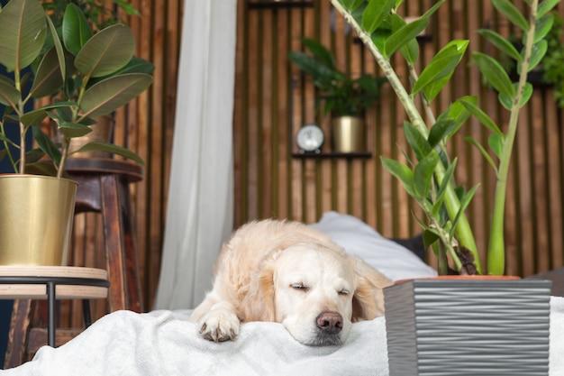Cucciolo di cane di razza pura golden retriever addormentato su cappotto e cuscini sul letto in casa o in hotel. stile scandinavo con interni di soggiorno di piante verdi in appartamento art deco. concetto amichevole degli animali domestici.