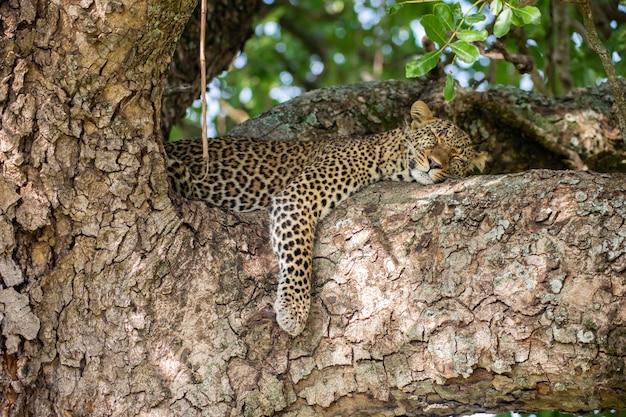 Leopardo addormentato sull'albero