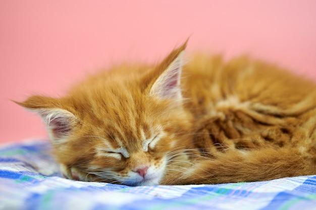 Gattino rosso del coon della maine addormentato. simpatico gatto di razza shorthair su sfondo rosa. gattino giocoso con i capelli rossi della nuova cucciolata.