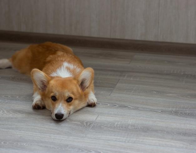Cucciolo di corgi assonnato sdraiato sul pavimento