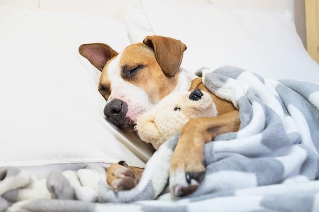 Cane carino assonnato a letto con un orso giocattolo soffice. cucciolo di staffordshire terrier che riposa nella camera da letto bianca pulita a casa