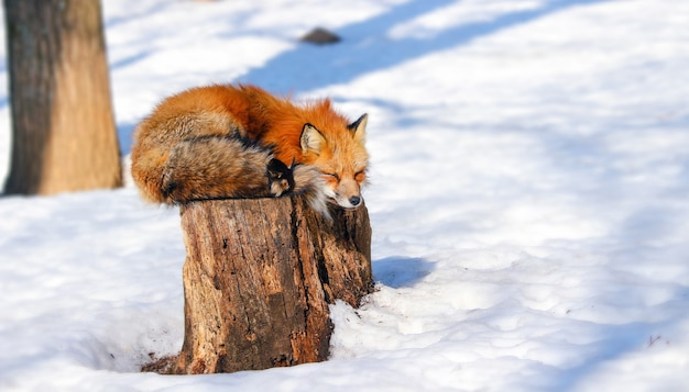 Sonnolenta volpe rossa nella neve invernale