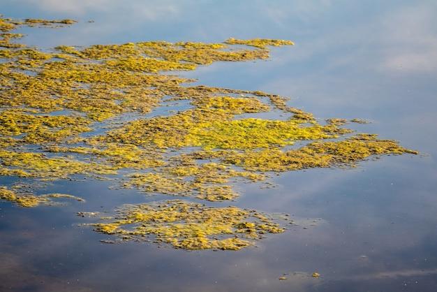 Alghe acquatiche viscide e verdi galleggianti sulla superficie dello stagno.
