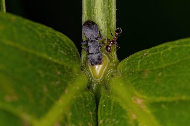 Piccola formica adulta di tartaruga nera del genere cephalotes e una formica mirmicina della sottofamiglia myrmicinae che mangiano il nettare extrafloreale di una pianta