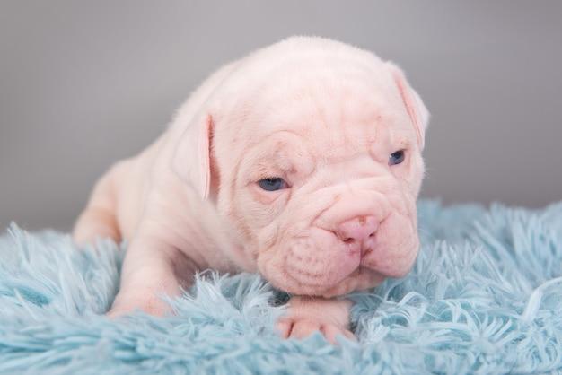 Piccolo cucciolo di cane bulldog americano è seduto su sfondo blu grigio.