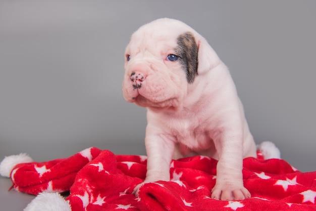 Piccolo cucciolo di cane bulldog americano è seduto sul rosso con stelle bianche.