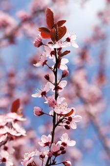 Piccoli bellissimi fiori di ciliegio rosso in fiore nel frutteto, bellissimi fiori rosa in primavera o in estate