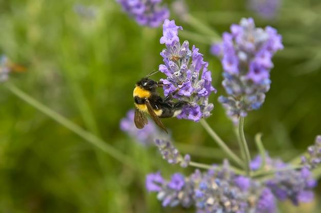 Piccola ape che cerca di succhiare nettare e polline da un fiore di lavanda, ripresa da una sorprendente ripresa macro con grande dettaglio.