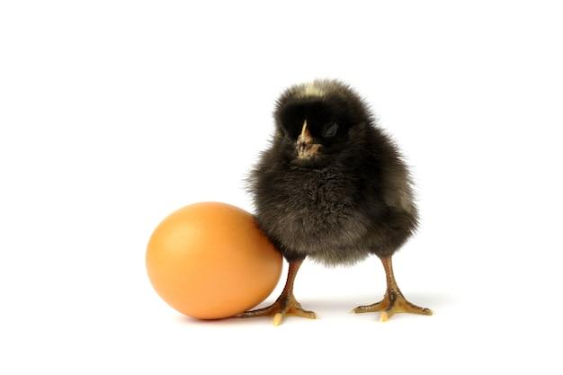 Piccolo pollo ed uovo neri isolati su bianco