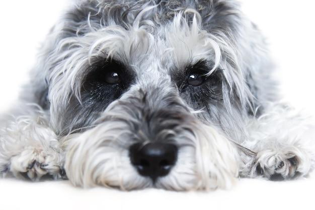 Piccolo cane schnauzer miniatura in bianco e nero che guarda l'obbiettivo su priorità bassa bianca Foto Premium