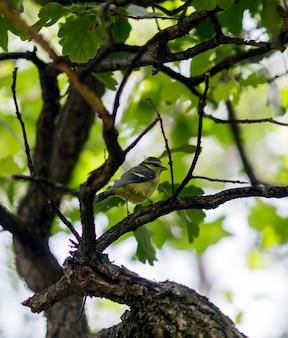 Una piccola cinciarella appollaiata su un ramo in un bosco