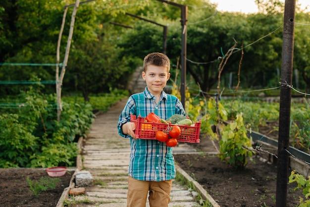 Un bambino sta con un'intera scatola di verdure mature al tramonto in giardino e sorride. agricoltura, raccolta. prodotto ecologico.