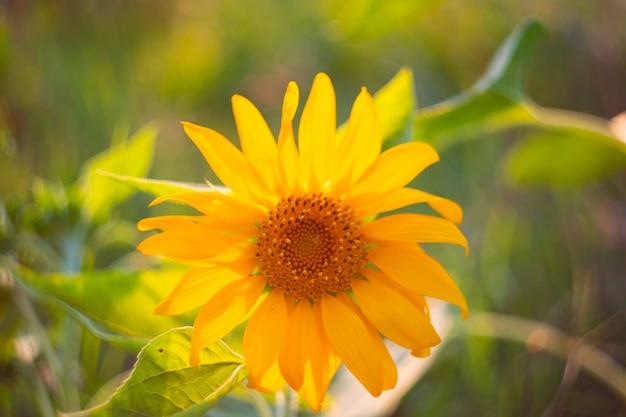 Piccolo fiore di girasole giallo brillante. paesaggio soleggiato estivo, messa a fuoco selettiva.