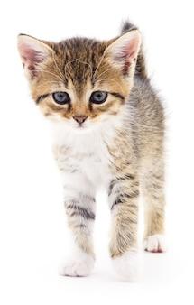 Piccolo gattino marrone isolato su bianco
