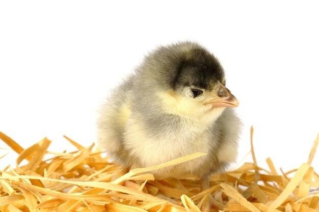 Piccolo pollo in un nido di paglia isolato su bianco.