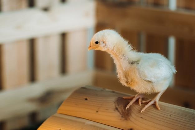 Un piccolo pollo sta sul tetto della sua casa e si crogiola al sole