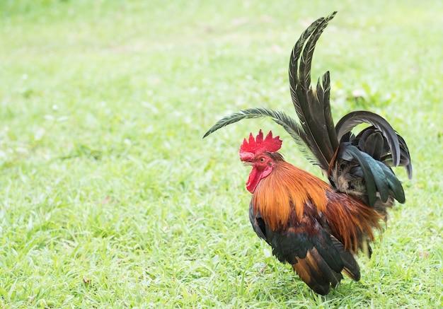 Piccolo pollo con erba di campo, pollo di gallina in fattoria