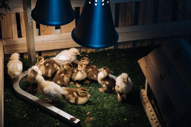 Piccole galline e anatroccoli si crogiolano sull'erba sotto una lampada in cortile