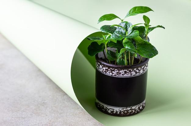 Piccola pianta del caffè in una pentola su uno sfondo verde pastello. pianta del caffè. concetto di giardinaggio domestico.