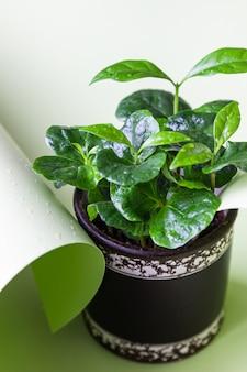Piccola pianta del caffè con gocce d'acqua in una pentola. concetto di giardinaggio domestico.
