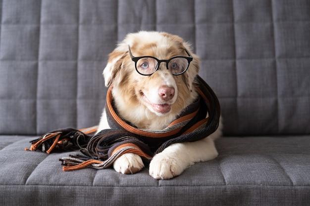 Piccolo simpatico cucciolo di cane pastore australiano rosso merle indossa sciarpa a strisce.
