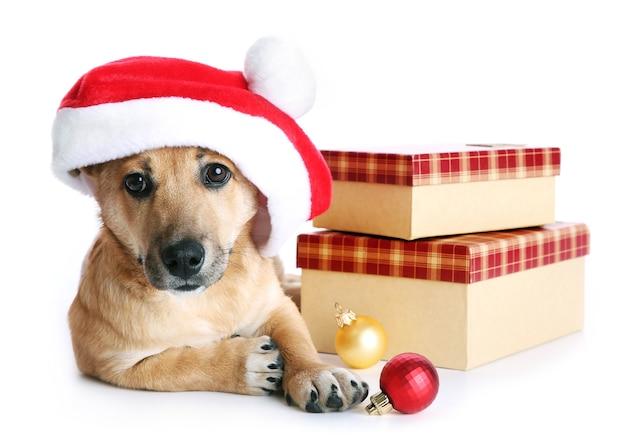 Piccolo e simpatico cane divertente con cappello da babbo natale con scatole e giocattoli di natale, isolato su bianco