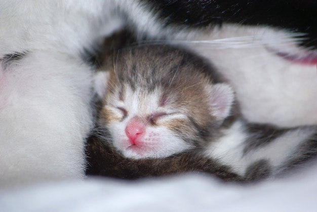 Piccolo gattino carino che dorme dolcemente da sua madre