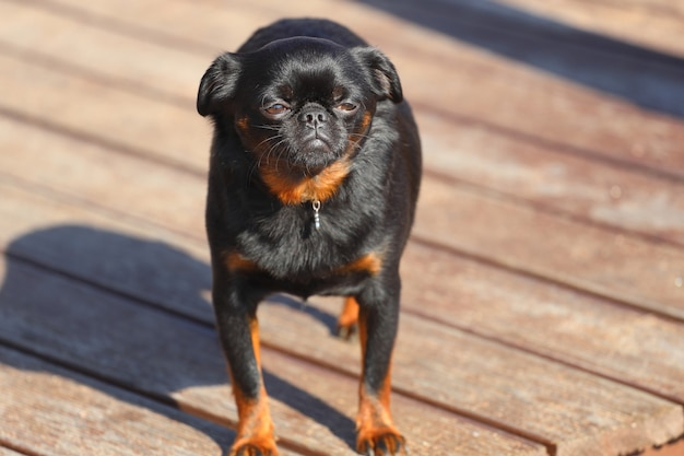 Piccolo cane di razza brabant griffon. foto di alta qualità