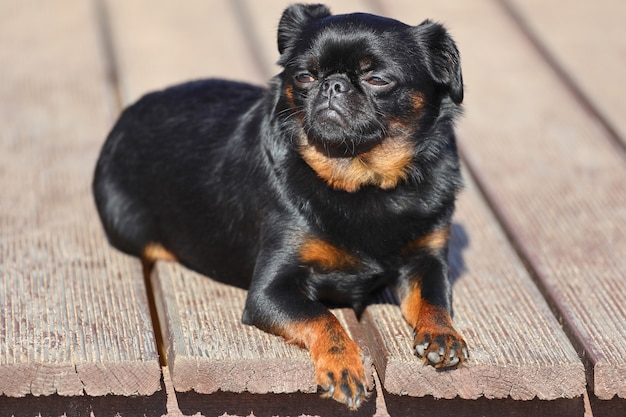 Piccolo cane di razza grifone a pelo liscio. foto di alta qualità