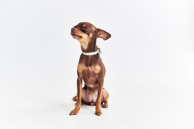 Un piccolo cane chihuahua in posa sfondo isolato