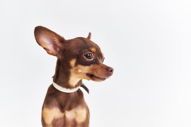 Uno studio di toelettatura per cuccioli di cane di piccola taglia