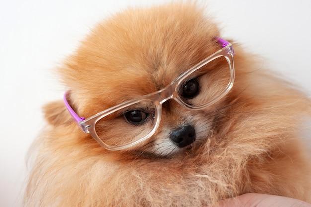 Piccolo cane pomeranian colore arancione seduto su uno sfondo bianco con la museruola di occhiali da vicino.