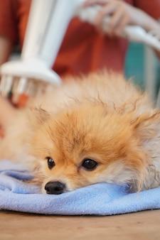 Il piccolo cane si siede su un tavolo di legno e asciuga i peli di cane con un panno assorbitore blu e un asciugacapelli