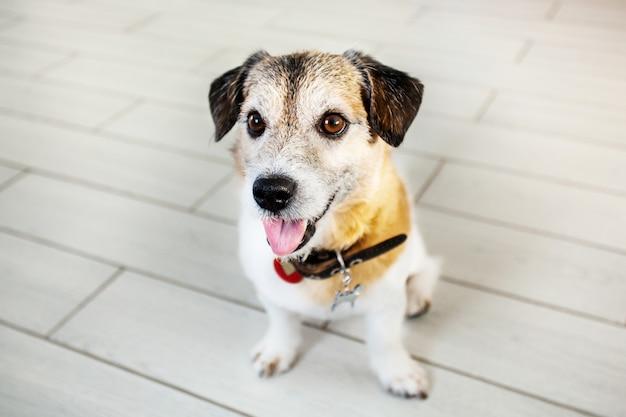 Un piccolo cane si trova sulle zampe posteriori, chiede una sorpresa, rimorchio, animale domestico, casa