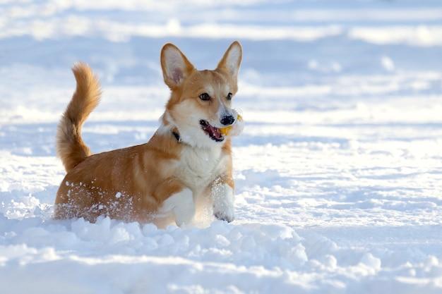 Piccolo cane con una palla gialla tra i denti gioca nella neve