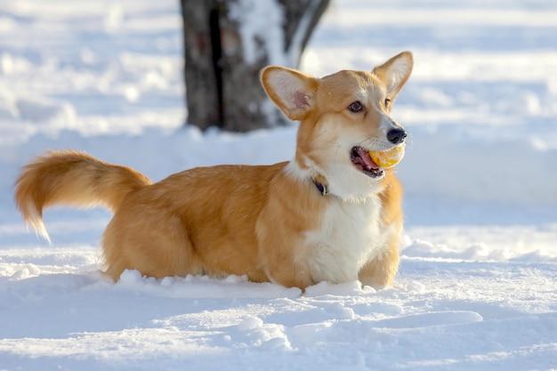 Un cagnolino con una pallina gialla tra i denti gioca nella neve