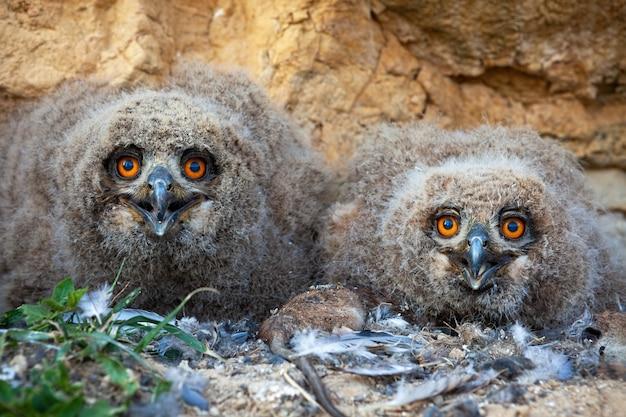 Piccoli pulcini euroasiatici del gufo reale che si siedono nel nido sulla terra