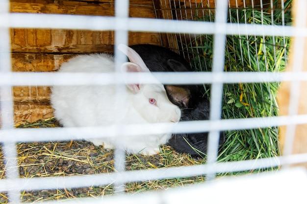 Piccoli conigli bianchi e neri di alimentazione che masticano erba nella conigliera sul backgro del ranch del fienile della fattoria degli animali...