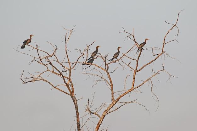 Un piccolo stormo di piccoli cormorani siede su un albero secco contro il cielo