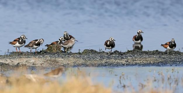 Piccoli stormi di voltapietre (arenaria interpres) nel piumaggio di allevamento sul lago in un habitat naturale.