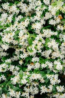 Piccoli fiori di gelsomino bianco durante la fioritura.